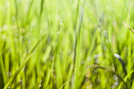 Bokeh of the rice field after rain drop.