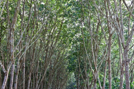 The rows of rubber tree in southern of Thailand photo