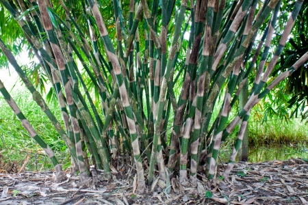 The clump of bamboo tree