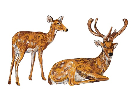 The vector of old and young deer Vector