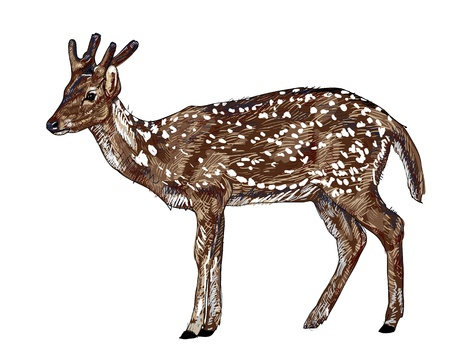 The vector of young red deer Illustration