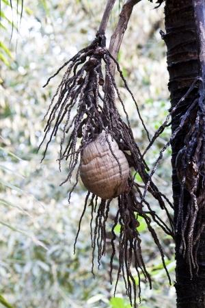 Nearly fall wilt cocoanut on coconut tree photo