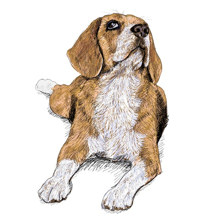 Beagle is resting and looking something above Illustration