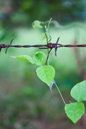 barbed wire frame: The climber grow and climb on the rusty barbed wired