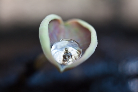 The drop of water on heart shape lotus leaf