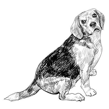 Beagle glance to it s side Stock Vector - 18291548