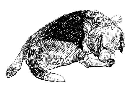 softly: Beagle is biting softly on it s leg Illustration