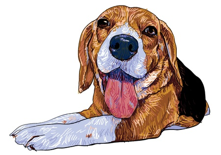 The front view of laying down beagle