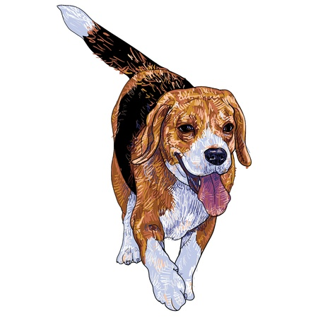 short haired: Running beagle