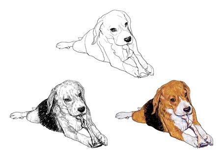 dog bite: Beagle � masticare il bastone osso Vettoriali
