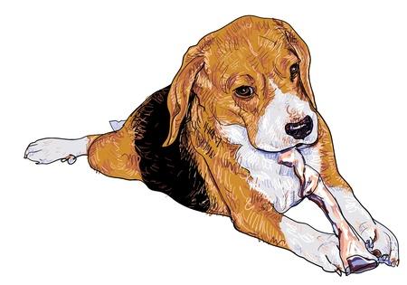 beagle puppy: Beagle est� masticando el palillo hueso