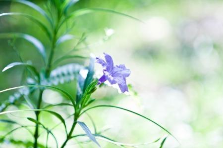 petunia wild: Ruellias flower on green background  Stock Photo