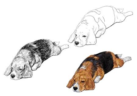 beagle puppy: Beagle est� poniendo en pie manteniendo plantear
