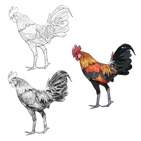 The very beautiful native species cock of Thailand Illustration