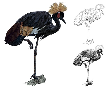 The vector of African Crowned Crane bird standing on the log Vector