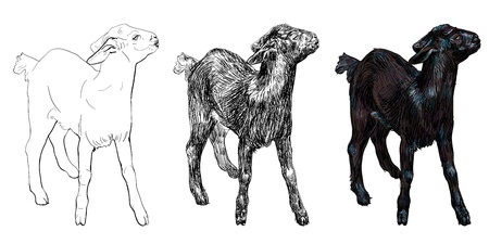 The vector of young balck goat Illustration