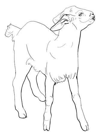 The vector of young balck goat Vector
