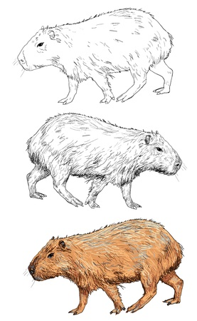 biggest animal: The vector of capybara Illustration