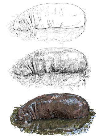The hippopotamus in the water