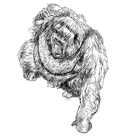 hominid: The vector drawing style of orangutan Illustration