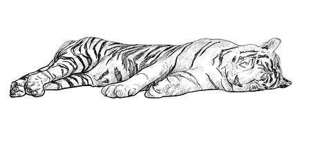 sleeping white tiger  Vector