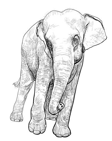 The  asia elephant Vector
