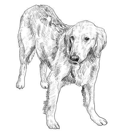The the young golden retriever. Illustration