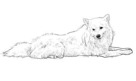 spitz: The vector of white slim dog mix from spitz and pomeranian Stock Photo