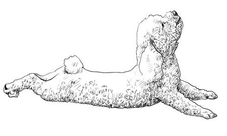 shih tzu: Shihtzu is lying and looking up Illustration