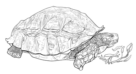 spurred: Vector of the African spurred tortoise