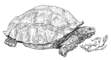 crawling creature: Vector of the African spurred tortoise