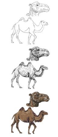 hump: Il vettore di camminare cammello con la grande scala di testa