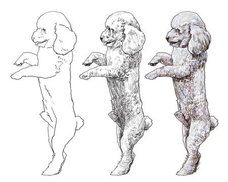 shihtzu: Shihtzu is standing on back legs