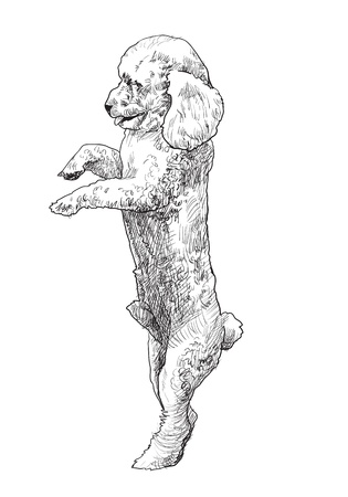 lap dog: Shihtzu is standing on back legs