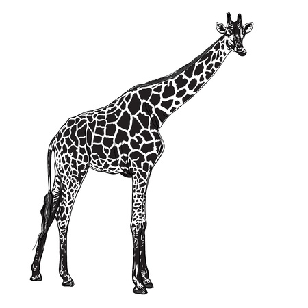 chewing: The vector of giraffe in chewing  posture
