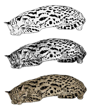civet cat: Vector of resting leopard cat