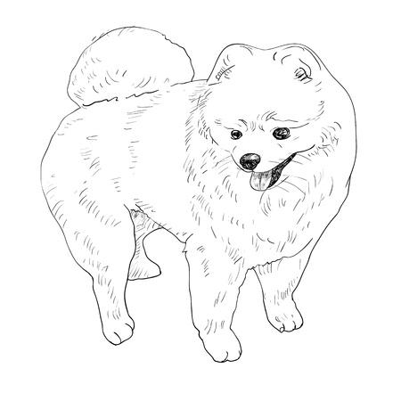 pomeranian: Drawing of pomeranian after grooming Illustration