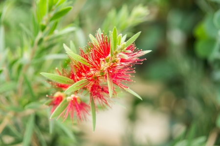 callistemon:  Bottle brush flower or Callistemon viminalis
