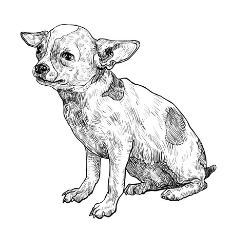 The vector of chihuahua on sitting pose