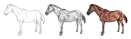 thoroughbred: Drawing the side of mare or female Thoroughbred  horse