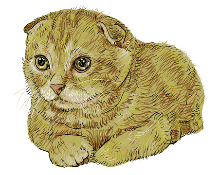 Drawing of cute Scottish Fold cat. Vector