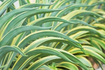 Close up of Agave americana tree Stock Photo