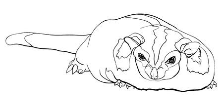 possum: Drawing of cute Sugar Glider(Petaurus Breviceps) Illustration