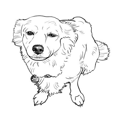 begging: Drawing of mix breeding pomeranian and shihtzu