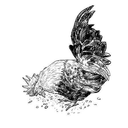 Male bantam, a kind of chicken, finding food by digging on the ground Vector