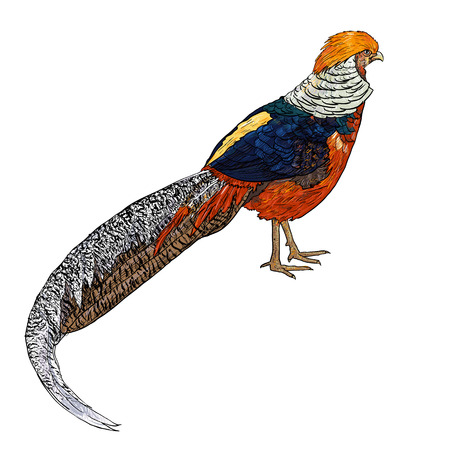 Drawing of The Golden Pheasant or Chinese Pheasant Ilustração