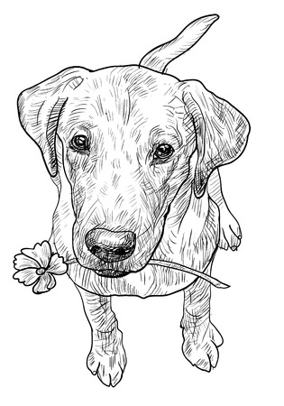 doggies: Young labrador retriever is sitting and hold flower in the mouth