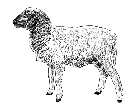 The side of young sheep  on white background
