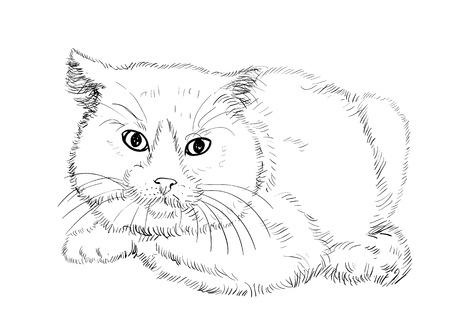 crouching: British shorthair cat in crouching pose