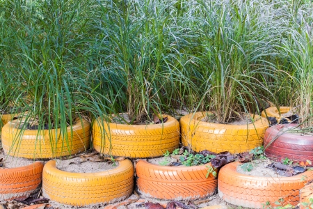 The plant grow in the colourful used tyre for decoration